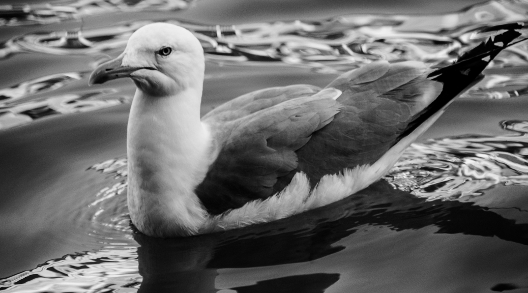 Fb black white 5 day challenge day 2 seagull of venicefield guide to awesome field guide to awesome