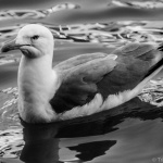 FB Black & White 5 Day Challenge: Day 2 Seagull of Venice