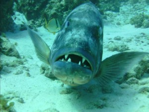 grouper fish...probably on his last fins - taken by dive photog.